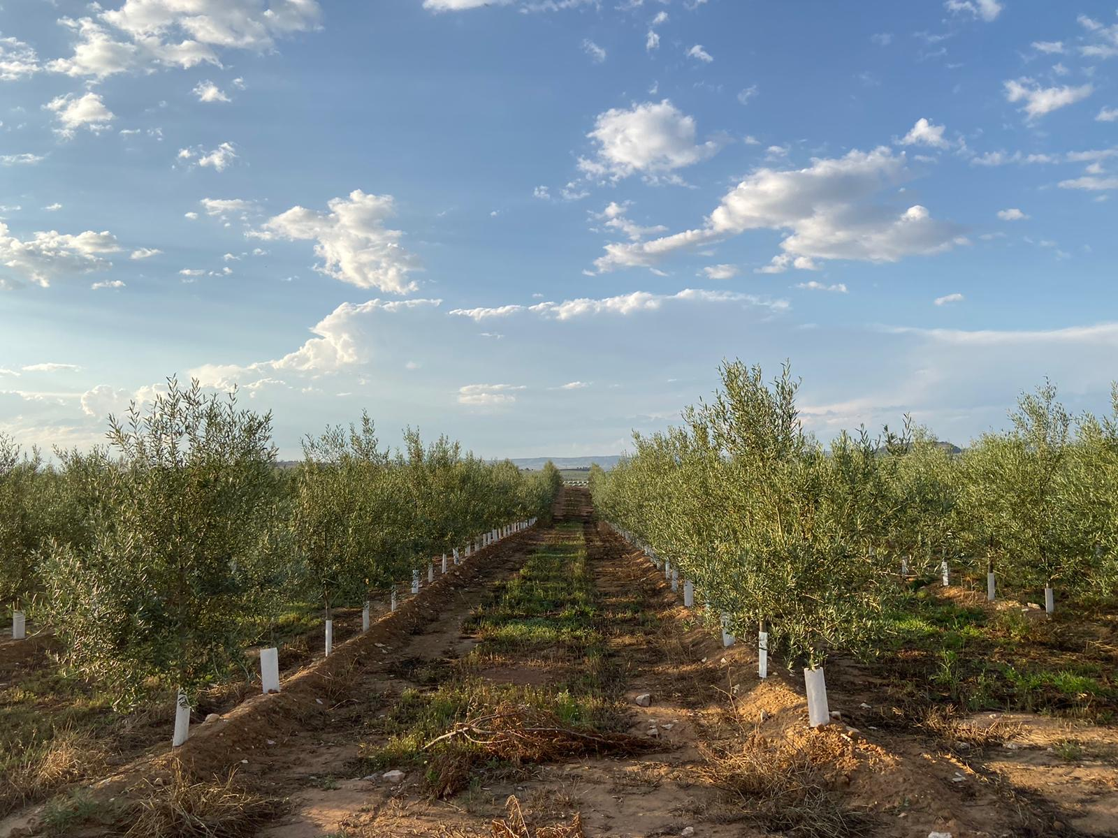 aceite oliva aragon
